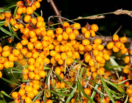 buckthorn berries. sea buckthorn.  Photographed in a forest. Stock Photo
