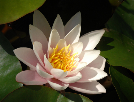 lotus, lotos. any of a number of large water lilies,