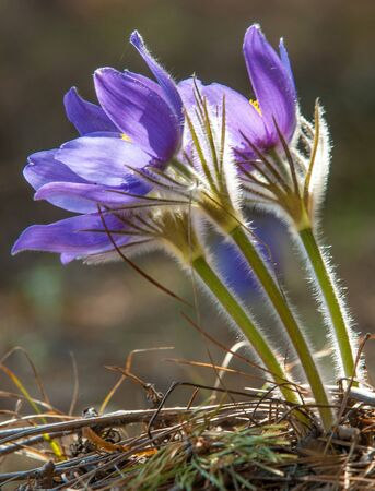 pasque: pasque flower, Pulsatilla patens. Pasqueflowers (Pulsatilla patens) on the field with grass. pasque flower. Stock Photo