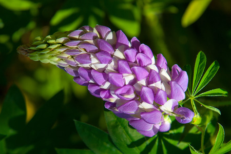 lupine, lupin. a plant of the pea family, with deeply divided leaves and tall, colorful, tapering spikes of flowers.
