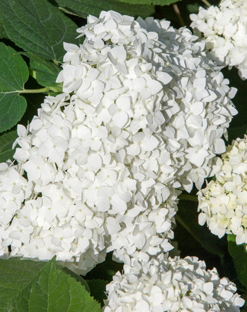 viburnum, guelder rose. Similar to the closely related highbush cranberry, it is widely cultivated in North America. a deciduous Eurasian shrub of the honeysuckle family
