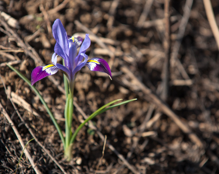 Iris pumila. the goddess of the rainbow, who acted as a messenger of the gods.