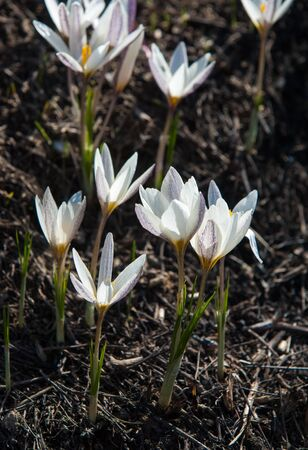 snowdrop. a widely cultivated bulbous European plant that bears drooping white flowers during the late winter.
