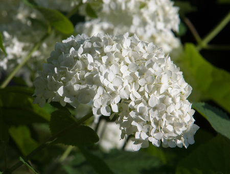 globular: viburnum, guelder rose. Similar to the closely related highbush cranberry, it is widely cultivated in North America. a deciduous Eurasian shrub of the honeysuckle family
