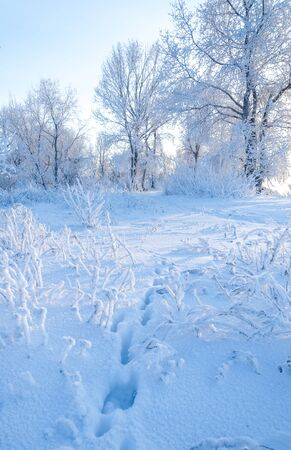 hoar: Winter landscape. Frost frost on the trees. Mist evaporation of water. Blue sky. Sunny day. Opaque air saturated with water vapor, filled with bright light of the sun