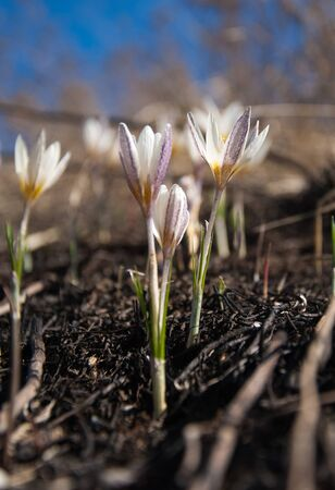 widely: snowdrop. a widely cultivated bulbous European plant that bears drooping white flowers during the late winter.