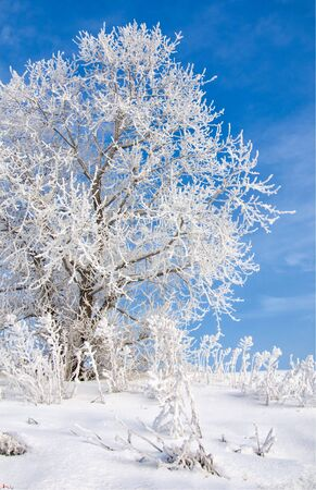 evaporacion: Winter landscape. Frost frost on the trees. Mist evaporation of water. Blue sky. Sunny day. Opaque air saturated with water vapor, filled with bright light of the sun