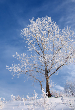 very cold: Winter landscape. Winter is very cold, the trees covered with frost