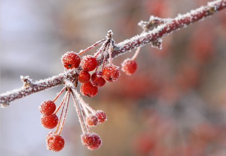 Winter landscape. Small decorative apples covered with frost. a deposit of small white ice crystals formed on the ground or other surfaces when the temperature falls below freezing.