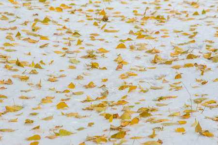 Texture, background. Yellow autumn leaves on white snow. First snow. Yellow birch leaves