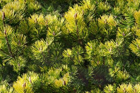 evergreen: Seamless texture, pattern. pine, spruce, fir. Evergreen trees