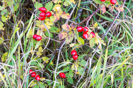 carotenoid: The rose hip, also known as rose haw or rose hep, is the fruit of the rose plant, that typically is red-to-orange, but ranges from dark purple to black in some species