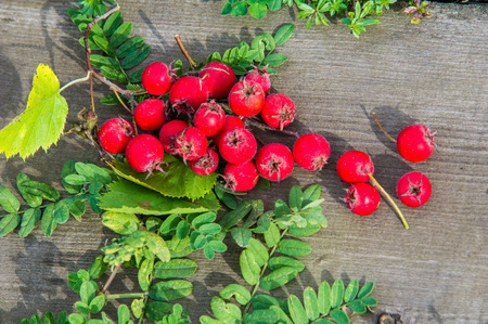 thorny: Texture, background. Hawthorn berries, how, vnitethorn, Crataegus,  a thorny shrub or tree of the rose family, with white, pink, or red blossoms and small dark red fruits (haws). Stock Photo