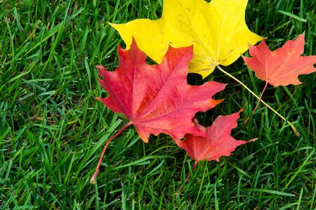 canadian flag: Texture, background. autumn leaves, maple leaves red and yellow. a tree or shrub with lobed leaves, winged fruits, and colorful autumn foliage,
