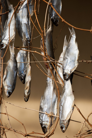 Texture, background. Dried fish. stockfish. Norwegian traditional way of drying fish Stock Photo