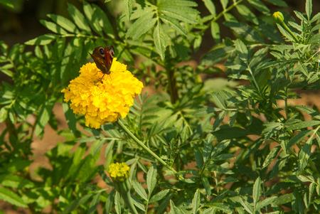 Fiori Gialli Ornamentali.Immagini Stock Fiori Di Marigolds Una Pianta Della Famiglia Dei