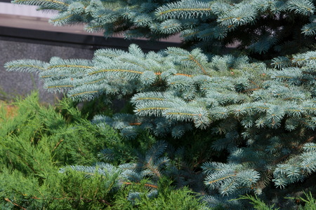 than: blue spruce. a North American spruce with sharp, stiff blue-green needles, growing wild in the central Rocky Mountains. Its many cultivated varieties tend to be bluer in color than the wild ones.