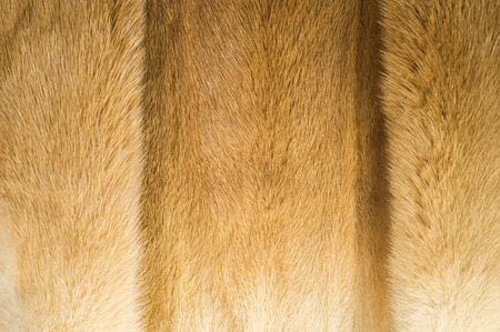 widely: Texture, background. mink fur. Mink coat. Gold color mink fur. a small, semiaquatic, stoatlike carnivore native to North America and Eurasia. The American mink is widely farmed for its fur.