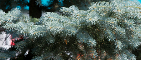 bluer: blue spruce. a North American spruce with sharp, stiff blue-green needles, growing wild in the central Rocky Mountains. Its many cultivated varieties tend to be bluer in color than the wild ones.