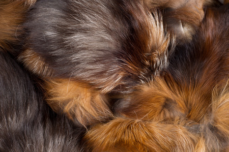 visone: Trama, sfondo. Pelliccia di volpe. un mammifero carnivoro della famiglia cane con un muso a punta e coda folta, proverbiale per la sua astuzia.