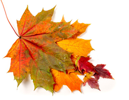 Colorful and bright background made of fallen autumn leaves. plane tree leaf isolated on white.(Keep path).
