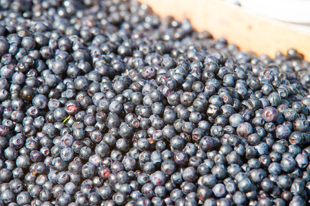 Vaccinium myrtillus is a species of shrub with edible fruit of blue color, commonly called bilberry, whortleberry or European blueberry
