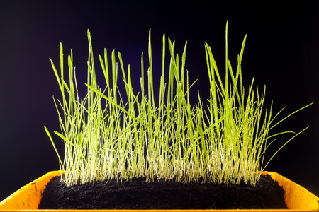 young grass on a black background. texture of green. isolated