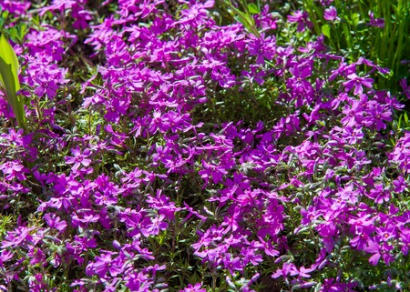 Phlox, a North American plant that typically has dense clusters of colorful scented flowers, widely grown as a rock-garden or border plant.