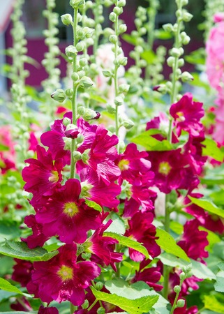 Mallow flowers. a herbaceous plant with hairy stems, pink or purple flowers, and disk-shaped fruit. Several kinds are grown as ornamentals, and some are edible. Stock Photo