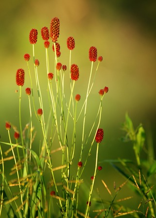 Sanguisorba officinalis. great burnet. Chinese Herbal Materia Medica by Dan Bensky Di Yu. the root is used to stop bloody dysentery, nosebleeds, and is applied topically to treat burns and insect bites