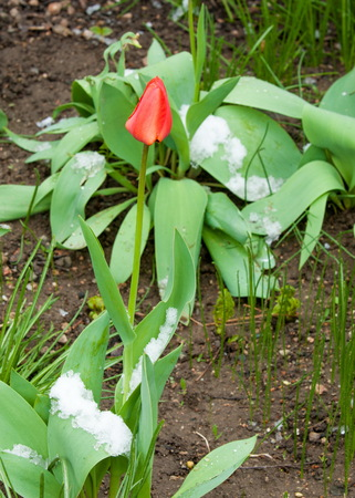 tulips in bloom and covered with snow