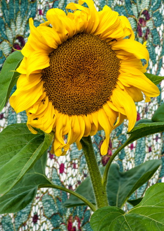 sunflower, helianthus. Endangered Species Act. They grow to six feet tall and are primarily found in woodlands Stock Photo
