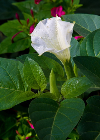 Texture, pattern, background. Datura flower. an acutely disturbed state of mind that occurs in fever, intoxication, and other disorders and is characterized by restlessness, illusions, and incoherence of thought and speech.