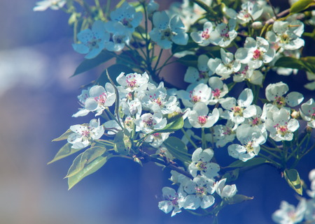Flowers of apple. apple flowers background. texture. the feel, appearance, or consistency of a surface or a substance. Stock Photo