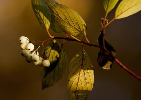 White berries of Cornus Alba Sibirica Variegata. Stock Photo