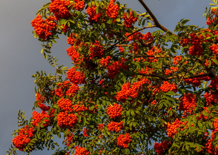Rowan early autumn, the fruits of mountain ash scarlet, while the setting sun. a mountain ash, in particular the European Sorbus aucuparia. Stock Photo