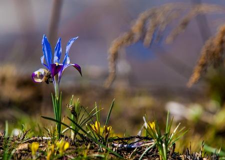Beautiful purple Iris flowers. Dark blue irises blossoming in a garden. Beautiful flowers of Iris Stock Photo