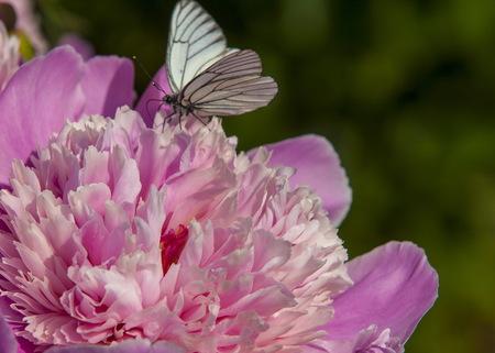 paeonia: Paeonia (plant). Magenta peony flower (Paeonia lactiflora).
