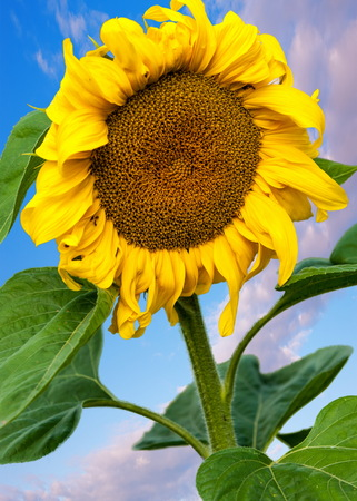 helianthus: sunflower, helianthus. Endangered Species Act. They grow to six feet tall and are primarily found in woodlands Stock Photo