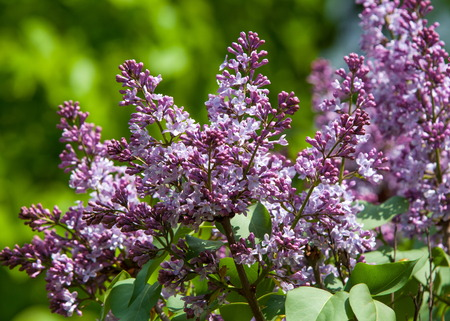 lilac bush. branch with spring lilac flowers. Lilacs bloom in May. Lilac bushes in the garden Stock Photo