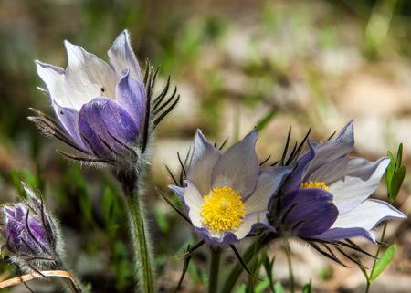 pasque flower, Pulsatilla patens. Pasqueflowers (Pulsatilla patens) on the field with grass. pasque flower. Stock Photo