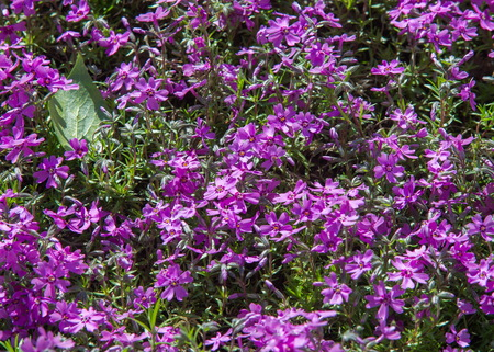 asterids: Phlox, a North American plant that typically has dense clusters of colorful scented flowers, widely grown as a rock-garden or border plant.