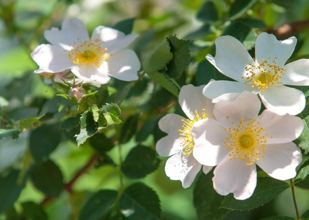 briar: dog-rose, briar, brier, canker-rose, eglantine. rose flowers. rose flowers photographed in the mountains