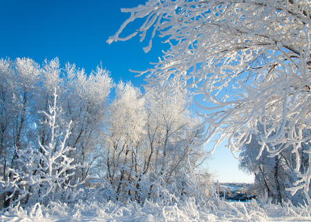 hoarfrost: Winter landscape. Frost frost on the trees. Mist evaporation of water. Blue sky. Sunny day. Opaque air saturated with water vapor, filled with bright light of the sun