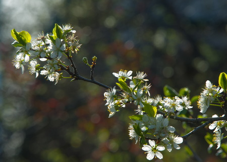 crab apple tree: Malus, Crabapple,  Wild apple . For the cultivated fruit, Apple. The other species are generally known as crabapples, crab apples, crabs, or wild apples. Stock Photo