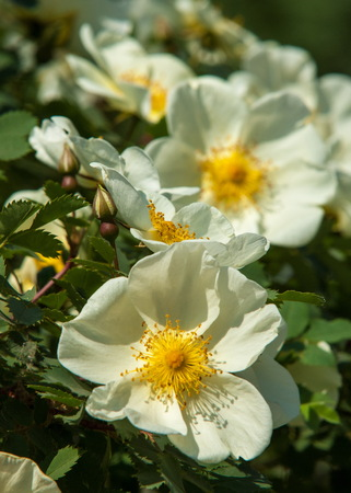 Dog-rose blooms. brier flowers against blur background with copyspace
