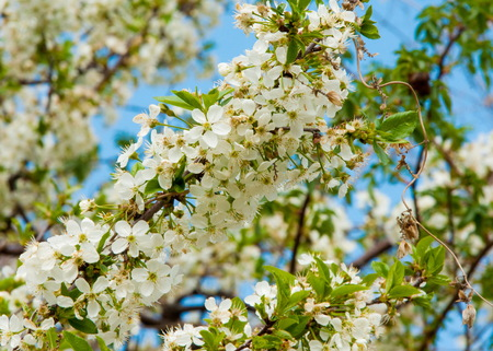 Apple tree flowers in the snow. spring frosts Stock Photo