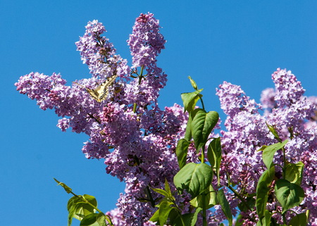 Lilac flowers. Swallowtail butterfly (machaon)  The photo was taken in the park Stock Photo