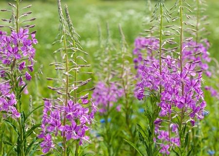 Willowherb - Epilobium Angustifolium. blooming sally (Epilobium angustifolium). Purple Alpine Fireweed. epilobium flower