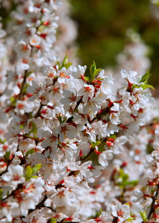 Flowers of nanking cherry prunus tomentosa in spring. Spring flower: Blooming Rosaceae. Beautiful cherry blossom. Pink cherry blossoms in springtime. Ornamental garden with majestically blossoming large cherry trees on a fresh green lawn